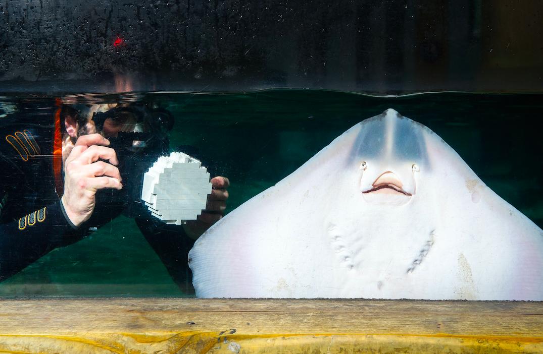 Divers at the SEA LIFE London Aquarium install LEGO marine inspired models!